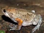 Découverte d'une nouvelle espèce de grenouille au Vietnam