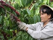 Exportation d'un million de tonnes de café depuis janvier