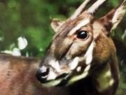 """Découverte de """"Sao la"""" dans la forêt de Quang Nam"""