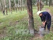 Cambodge : augmentation de 37 % des exportations de caoutchouc en 2013