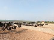 L'élevage d'autruches à Quang Binh
