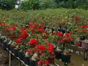 Au Sud, la culture des frangipaniers fleurit à Binh Chanh