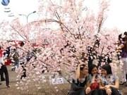 Bientôt la fête des cerisiers en fleurs à Hanoi