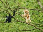 Cao Bang réussit à protéger les gibbons de Cao Vit