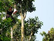 Le thé Shan Tuyêt, l'or vert du Haut Plateau de Tua Chua