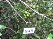 Développer la culture du macadamia au Vietnam