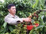 Le café de Dak Lak est commercialisé dans 80 pays et territoires
