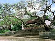 Deux frangipaniers séculaires classés au patrimoine du Vietnam