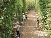 L'Inde, premier débouché du poivre vietnamien