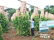 Le poivre vietnamien conserve sa domination sur le marché mondial