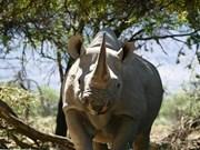 Les Vietnamiens tournent le dos à la corne de rhinocéros