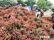 Bac Giang s'efforce d'élargir ses marchés d'exportation de litchis