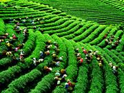 Le parfum du thé des Hauts Plateaux de Lam Dong