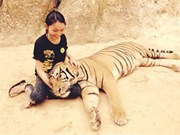 Une Vietnamienne soigne des tigres en Thaïlande