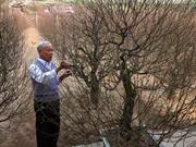 Période cruciale pour les cultivateurs de pêchers et d'abricotiers