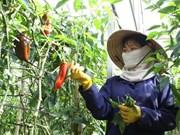 Un groupe japonais étudie le projet de légumes bio à Ha Nam