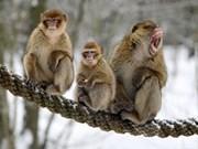 Dak Nong : les gardes-forestiers provinciaux reçoivent trois macaques rares