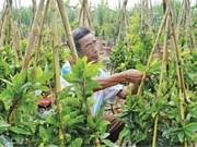 Les cultivateurs d'abricotiers à Hô Chi Minh-Ville attendent le Têt