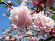 Bientôt la Fête des fleurs de cerisiers 2015 à Ha Long