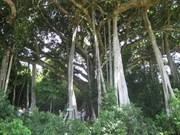 970 arbres séculaires reconnus ''Arbres patrimoniaux du Vietnam''