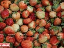Tourisme dans les fermes de fraisiers à Da Lat