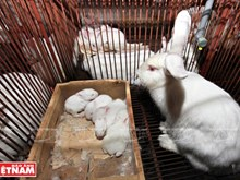 Elevage de lapins néo-zélandais à Hanoï