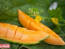 La culture high-tech du melon à Tây Ninh