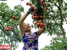 La saison des litchis Thieu fait l'ampleur à Luc Ngan