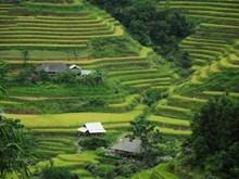 Moisson d'or sur les rizières en terrasses à Hoàng Su Phi