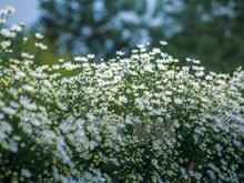 La saison du chrysanthème des Indes à Hanoï