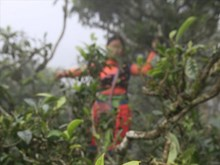 Le thé Shan tuyet Ta Xua, un label de prestige
