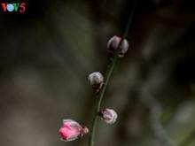 Les fleurs de pêcher de Nhat Tan