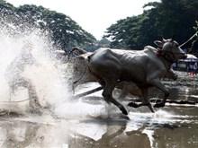 Course de bœufs des Khmers dans la région Bay Nui