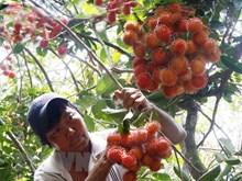 Le ramboutan vietnamien obtient son visa pour la Nouvelle-Zélande